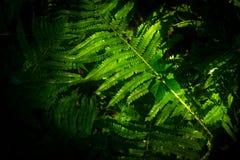 蕨在温暖的阳光下 库存照片