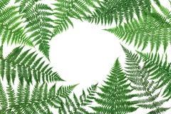 蕨在白色背景留给框架从上面被隔绝 平位置称呼 免版税图库摄影