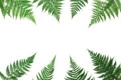 蕨在白色背景顶上的视图留给框架被隔绝 平位置称呼 免版税库存照片