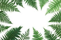 蕨在白色背景顶视图留给框架被隔绝 平位置称呼 库存照片