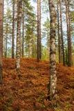 蕨在秋天森林里 免版税图库摄影