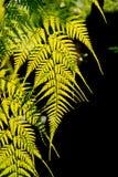 蕨在sunligth由后照的庭院里 免版税图库摄影