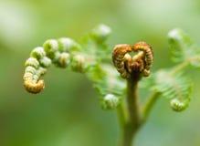 蕨属aquilinum一个新鲜的新的叶状体的宏指令  免版税库存照片