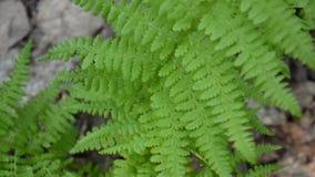 蕨录影在森林把摇摆留在 蹄盖蕨属filix 影视素材