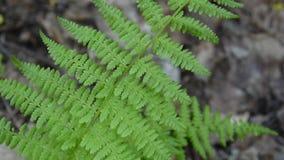 蕨录影在森林把摇摆留在 蹄盖蕨属filix 股票录像