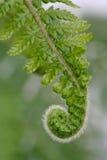 蕨新鲜的叶状体 免版税库存图片