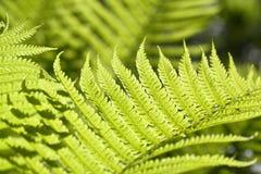 蕨新鲜的绿色叶子 免版税库存照片