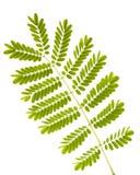 蕨查出的叶子 图库摄影