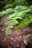 蕨森林叶子 免版税库存图片