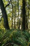 蕨森林在新西兰 库存图片