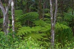 蕨森林夏威夷kea mauna 库存图片