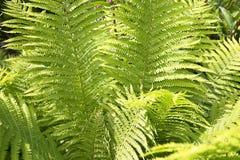 蕨森林,美好的背景 免版税库存图片