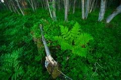 蕨森林 免版税库存照片