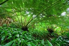 蕨森林hawaiin雨豆树 免版税库存照片
