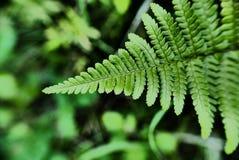 蕨植物的有机样式 图库摄影
