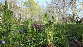 蕨植物螺旋芽在春天庭院里展开叶子 4K 股票视频