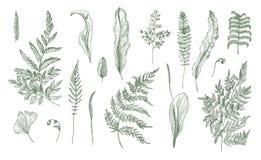 蕨现实收藏 手拉的新芽、叶状体、被设置的叶子和词根 Tiget 库存例证