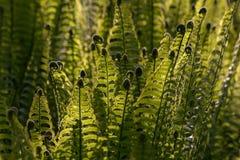 年轻蕨留给由后面照由阳光 图库摄影