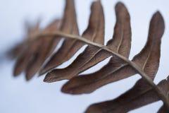 蕨的叶子 库存图片