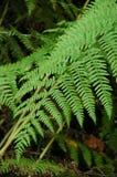 蕨的绿色叶状体 免版税库存图片