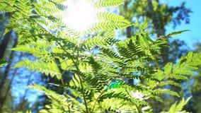 蕨的被日光照射了叶子 影视素材