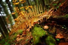 蕨的黄色叶子 库存照片