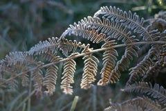 蕨结霜的叶子 免版税库存照片