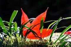 蕨绿色叶子槭树红色 图库摄影