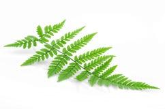 蕨绿色 免版税库存图片