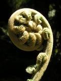 蕨羊齿卷牙叶状体 免版税图库摄影