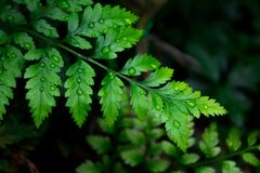 蕨美丽的绿色叶子与充满活力的颜色的在看叶子细节的看法的关闭  免版税库存图片