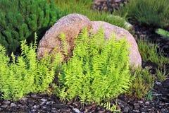 蕨蕨叶子 库存图片