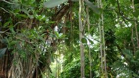 蕨鸟在印度榕树筑巢 明亮的蕨鸟筑巢与长大在印度榕树的大绿色叶子 各种各样的热带植物 股票录像