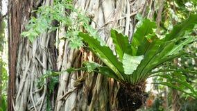 蕨鸟在印度榕树筑巢 明亮的蕨鸟筑巢与长大在印度榕树的大绿色叶子 各种各样的热带植物 影视素材