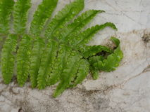 蕨离开与水下落在岩石 免版税图库摄影