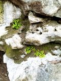 蕨类的岩石壁架 图库摄影