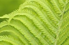 蕨绿色叶子在背景的 免版税图库摄影