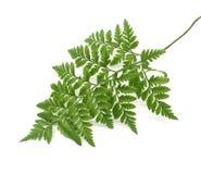 蕨绿色叶子 免版税库存图片