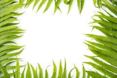 蕨水龙骨属植物加法器` s作为框架的舌头植物在白色背景,文本的,自然贺卡空间 库存图片