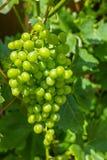 蕾斯霖白葡萄酒葡萄植物在有生长的葡萄园里未成熟 免版税库存照片