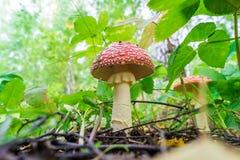 薄片状毒蘑菇,底视图,对蚂蚁 免版税库存图片