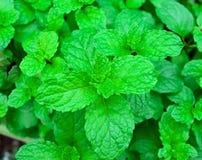 薄荷叶绿色在热带菜园,草本orga增长 免版税图库摄影