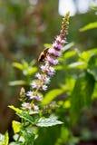 薄荷植物 免版税图库摄影