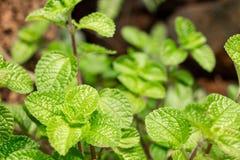 薄荷的植物增长 免版税库存照片