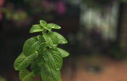 薄荷的植物特写镜头 免版税库存图片