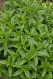 薄荷的植物背景 库存图片