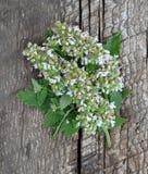 薄荷的花和叶子在树 图库摄影