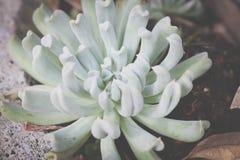 薄荷的绿色多汁植物 免版税库存照片
