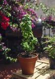 薄菏植物在罐的 免版税库存照片
