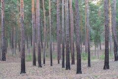 薄雾在日出的杉树后被看见 免版税库存照片